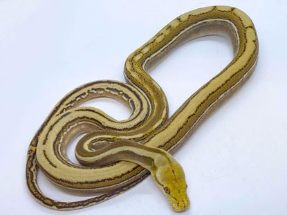 Picture of Phantom Genetic Stripe